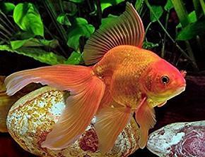 En Santa Clara, vendo peces Goldfish por cantidad - 55397500