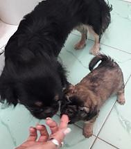 Se vende linda perrita pekines con 40 dias desparasitada
